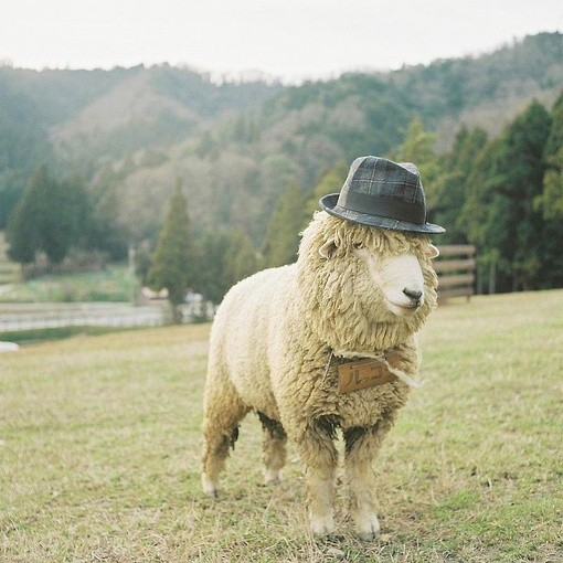 animalia_sheep