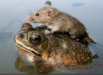 Mouse Riding Toad